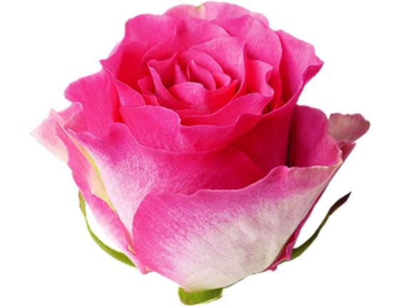 малибу фото розы